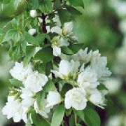 P. 'Manteau d'Hermine' is a small, deciduous shrub with ovate foliage and clusters of pretty, fragrant, creamy-white flowers in summer. Philadelphus 'Manteau d'Hermine' added by Shoot)