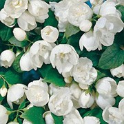 'Virginal' is a vigorous deciduous shrub with oval, dark-green leaves and strongly scented, double white flowers in mid-summer. Philadelphus 'Virginal' added by Shoot)