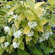 'Aureus' is a deciduous shrub with bright yellow leaves when young, later turning greener and creamy-white, strongly scented flowers in early summer. Philadelphus coronarius 'Aureus' added by Shoot)