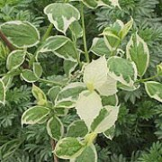 P. coronarius 'Variegatus' is a deciduous shrub with green, ovate leaves with creamy margins.  In early summer, it bears creamy-white flowers that are highly fragrant. Philadelphus coronarius 'Variegatus' added by Shoot)