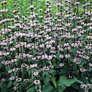 'Amazone' is a clump-forming perennial with dense whorls of pale lavender flowers that surround tall, upright stems. Phlomis tuberosa 'Amazone' added by Shoot)