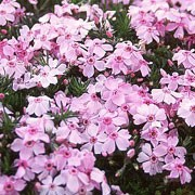 P. 'Kelly's Eye' is a low-growing, evergreen perennial with light pink flowers with purplish centres in late spring and early summer. Phlox 'Kelly's Eye' added by Shoot)