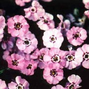 P. douglasii 'Boothman's Variety' is a low-growing, compact, evergreen perennial with fine foliage and pink flowers with purple centres in spring and summer. Phlox douglasii 'Boothman's Variety' added by Shoot)