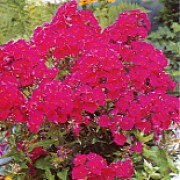 'July Glow' forms dark, red-wine flowers with maroon tinted petals. Phlox juliglut added by Shoot)