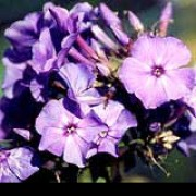 'Eventide' has erect stems with lance-shaped leaves and large panicles of fragrant, mauve-blue flowers. Phlox paniculata 'Eventide' added by Shoot)