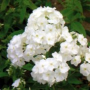 'White Admiral' forms fragrant, pure white flowers through summer and early autumn above slender, toothed mid-green leaves. Phlox paniculata 'White Admiral' added by Shoot)