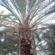 Phoenix canariensis added by Shoot)