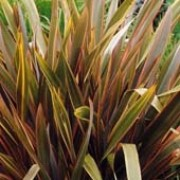 Phormium tenax added by Shoot)