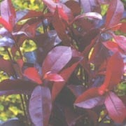 'Camilvy' is an evergreen shrub with very bright red leaves that turn green as they mature. Panicles of creamy-white flowers are produced in spring. Photinia x fraseri 'Camilvy'  added by Shoot)