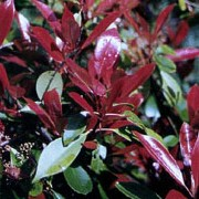 Photinia x fraseri 'Red Robin' added by Shoot)