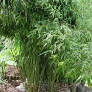 Phyllostachys aurea added by Shoot)