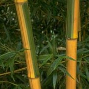 'Castilloni' is a robust bamboo with yellow canes, groved in green with glossy lance-shaped leaves. Phyllostachys bambusoides 'Castilloni' added by Shoot)