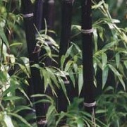 Phyllostachys nigra added by Shoot)