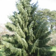 Picea breweriana added by Shoot)