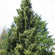 Picea omorika added by Shoot)
