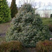 P. omorika 'Nana' is a compact, conical, evergreen coniferous shrub with dark-green needle like foliage that is whitish beneath. Picea omorika 'Nana' added by Shoot)