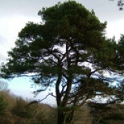 Pinus sylvestris added by Shoot)