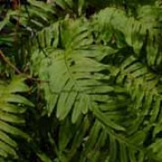 Polypodium vulgare added by Shoot)