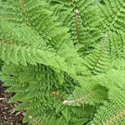 Polystichum setiferum added by Shoot)
