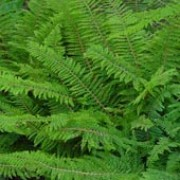 Acutilobum Group are evergreen or semi-evergreen ferns, with broad, lance-shaped or oval, finely divided, soft and moss like fronds, clothed with white scales as they unfurl. The largest fronds bear plantlets on the upper-sides.  Polystichum setiferum Acutilobum Group added by Shoot)