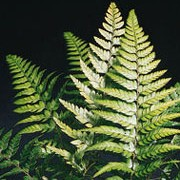 Polystichum tsussimense added by Shoot)
