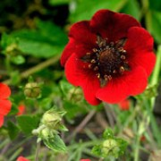 P. 'Gibson's Scarlet' is an herbaceous perennial with small, dark-green leaves and bright-red flowers in summer. Potentilla 'Gibson's Scarlet' added by Shoot)