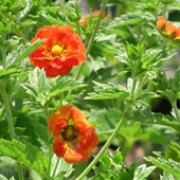 P. 'William Rollison' is an herbaceous perennial with dark green, divided foliage and orange-red flowers with yellow markings in summer. Potentilla 'William Rollison' added by Shoot)