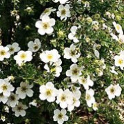 'Abbotswood' is a bushy deciduous shrub with small, dark green leaves and small, white flowers in late spring. Potentilla fruticosa 'Abbotswood' added by Shoot)