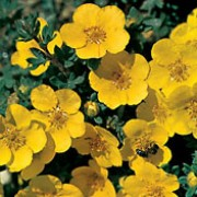 P. fruticosa 'Jackman's Variety' is a deciduous shrub with small, grey green leaves and yellow flowers from summer through to early autumn. Potentilla fruticosa 'Jackman's Variety' added by Shoot)