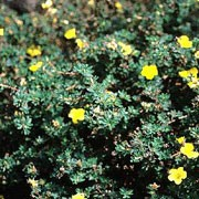 P. fruticosa 'Medicine Wheel Mountain' is a mat-forming, deciduous shrub with small, grey-green leaves and bright-yellow flowers from early summer through to autumn. Potentilla fruticosa 'Medicine Wheel Mountain' added by Shoot)