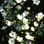 P. fruticosa 'Penny White' is a deciduous shrub with small, grey-green leaves and white flowers with yellow centres from late-spring through to autumn. Potentilla fruticosa 'Penny White' added by Shoot)