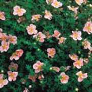 P. fruticosa 'Pink Beauty' is a deciduous shrub with small, grey-green leaves and pink flowers with yellow centres from early summer through to autumn. Potentilla fruticosa 'Pink Beauty' added by Shoot)