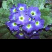 'Crescendo Blue Shades' is a short-lived perennial (usually grown as an annual) with oblong leaves, erect stems bearing an umbel of large blue flowers with yellow eyes in spring and summer. Primula 'Crescendo Blue Shades' Crescendo added by Shoot)