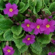 'Wanda' is a compact, semi-evergreen perennial forming a rosette of oval, purple-flushed leavesand deep reddish-purple flowers in spring. Primula 'Wanda' added by Shoot)