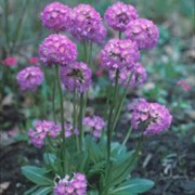 Primula denticulata added by Shoot)