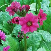 'Miller's Crimson' is a perennial with broad leaves and stout stems bearing crimson flowers in early summer. Primula japonica 'Miller's Crimson' added by Shoot)