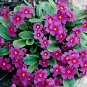 Primula juliae added by Shoot)