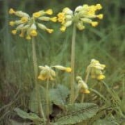 Primula veris added by Shoot)