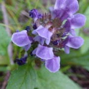 Prunella vulgaris added by Shoot)