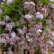 'Amanogawa' is a compact, deciduous ornamental tree with dense clusters of large, fragrant, semi-double pale pink blooms that smother the branches in late spring. Prunus 'Amanogawa' added by Shoot)
