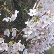 P. 'Shirotae' is a small, spreading, deciduous tree with green leaves turning orange and red in autumn.  It bears fragrant, white double-flowered blossom in spring.