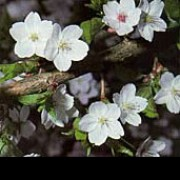 P. 'Umineko' is a small, upright, deciduous tree with pale-green leaves turning dark-green.  It bears white, single-flowered blossom in spring. Prunus 'Umineko' added by Shoot)