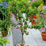 'Compact Stella' is a dwarf cherry tree producing edible sweet fruit. Prunus avium 'Compact Stella' added by Shoot)