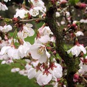 'Kojo-no-mai' is a small compact tree or shrub with spreading, rounded habit, long, yellow-green leaves in spring turning green and then red and orange in autumn. Early-spring white flowers with red centres are followed by dark purple fruits in autumn. Prunus incisa 'Kojo-no-mai' added by Shoot)