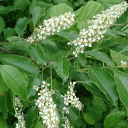 'Watereri' is a spreading, rounded tree with light-green leaves turning yellow in autumn.  It bears white, almond-scented blossom in May and black fruits in autumn. Prunus padus 'Watereri' added by Shoot)