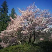 Prunus sargentii added by Shoot)