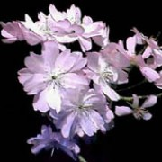 Prunus x subhirtella 'Autumnalis' added by Shoot)