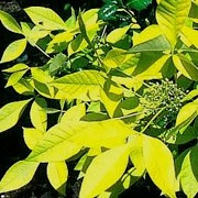 'Aurea' has yellow young leaves turning yellow-green with age.   Ptelea trifoliata 'Aurea' added by Shoot)