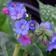 'Lewis Palmer' forms a clump of ovate cream spotted leaves, and clusters of bright blue flowers in early spring opening from pinks buds. Pulmonaria 'Lewis Palmer' added by Shoot)
