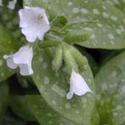 'Sissinghurst White' forms a clump of white-spotted ovate leaves, and clusters of pure white flowers opening from pink buds. Pulmonaria 'Sissinghurst White' added by Shoot)